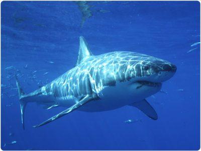 Great White Shark taken by staff photographer, Rick Heydel