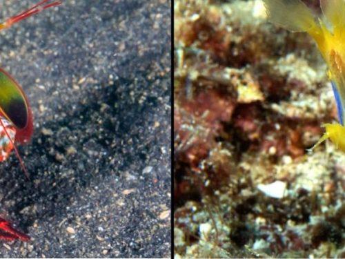 Muck Diving Mantis Shrimp + Juvenile Ribbon Eels
