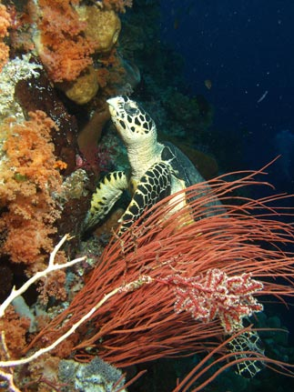 Scuba Diving Indonesia - © image by Rick Heydel