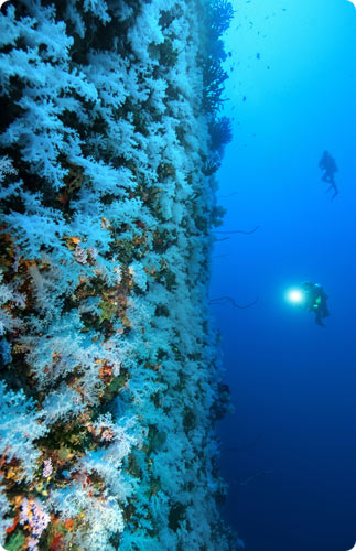 Fiji's White Soft Corals at Great White Wall