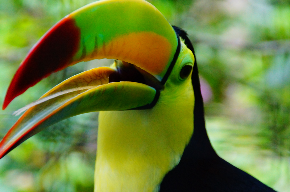 Toucan - credit to Belize Tourism Board-940web