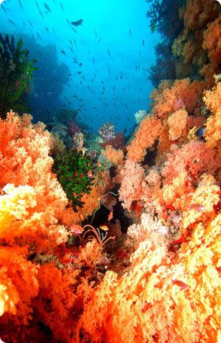 Wananavu's-yellow soft coral reef