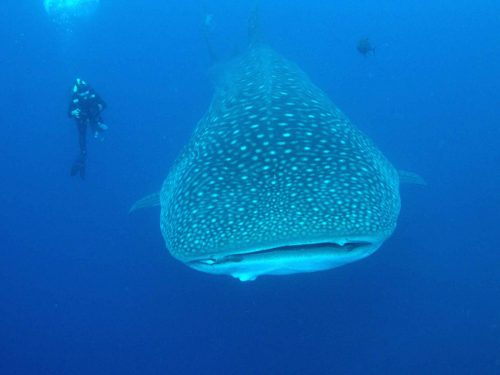Whaleshark in the Galapagos