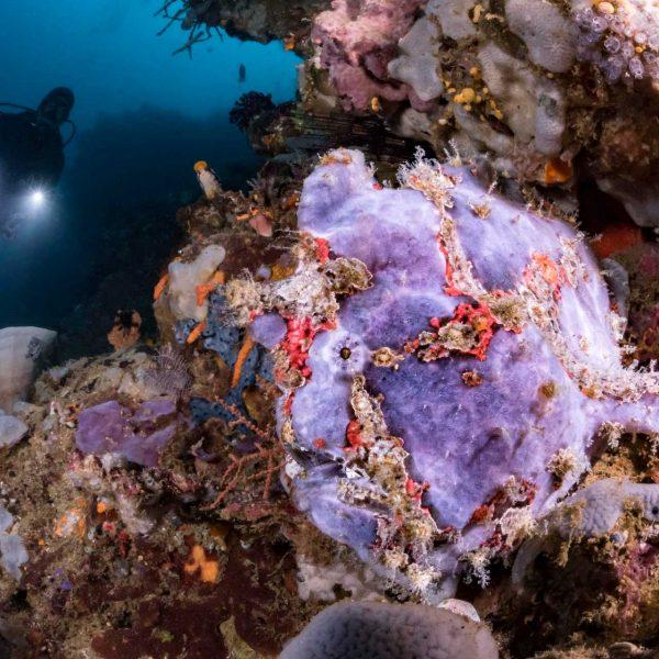 Giant frogfish Murex Bangka