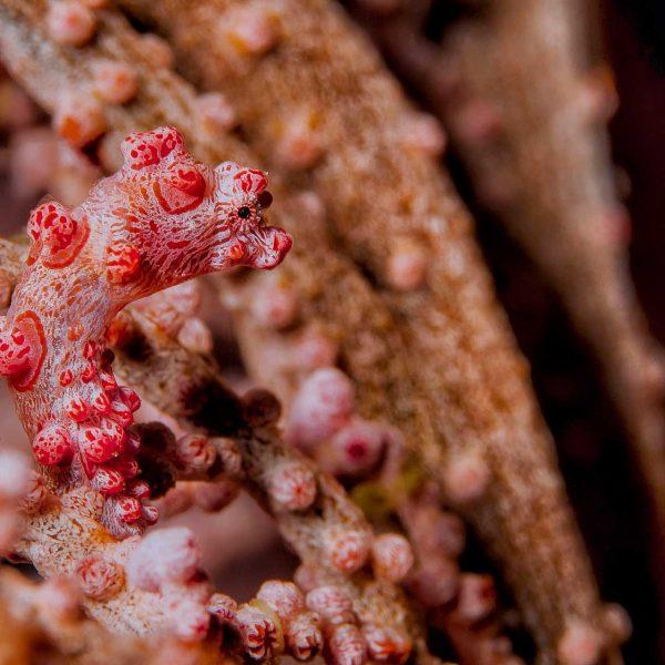 Pygmy seahorse Murex Bangka