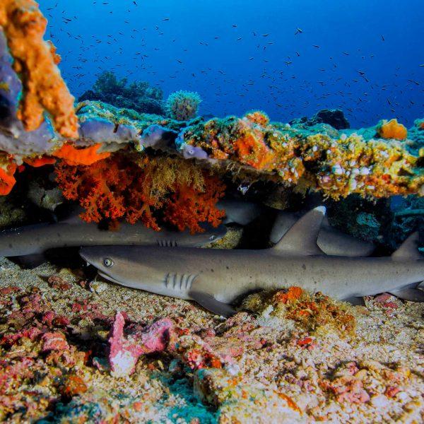 Whitetip Reef Sharks at Murex Bangka