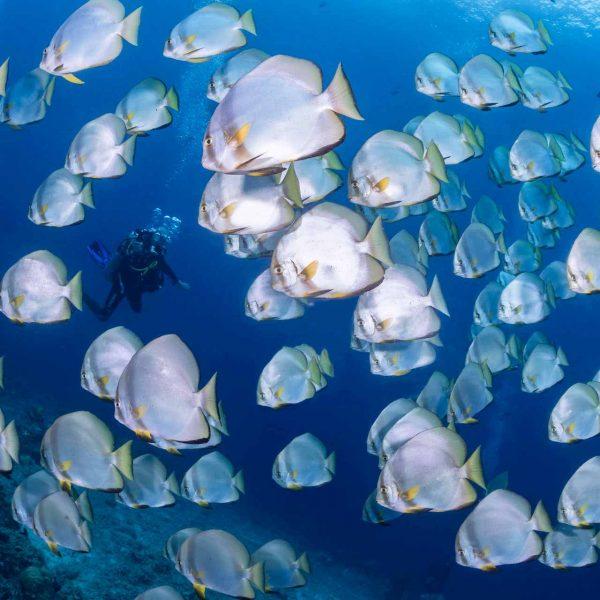 Bunaken diving school of batfish